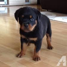 They are so so cute and nice with all other pets,rottweiler