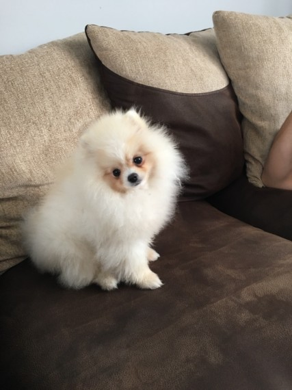 AKc Registered Beautiful Pomeranian Puppies for sale