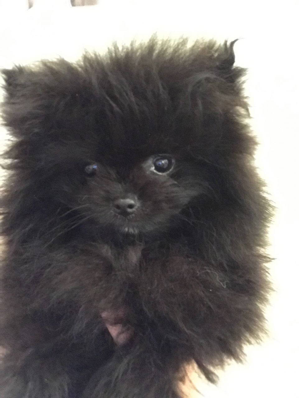 Male & Female Pomeranian Puppies!!