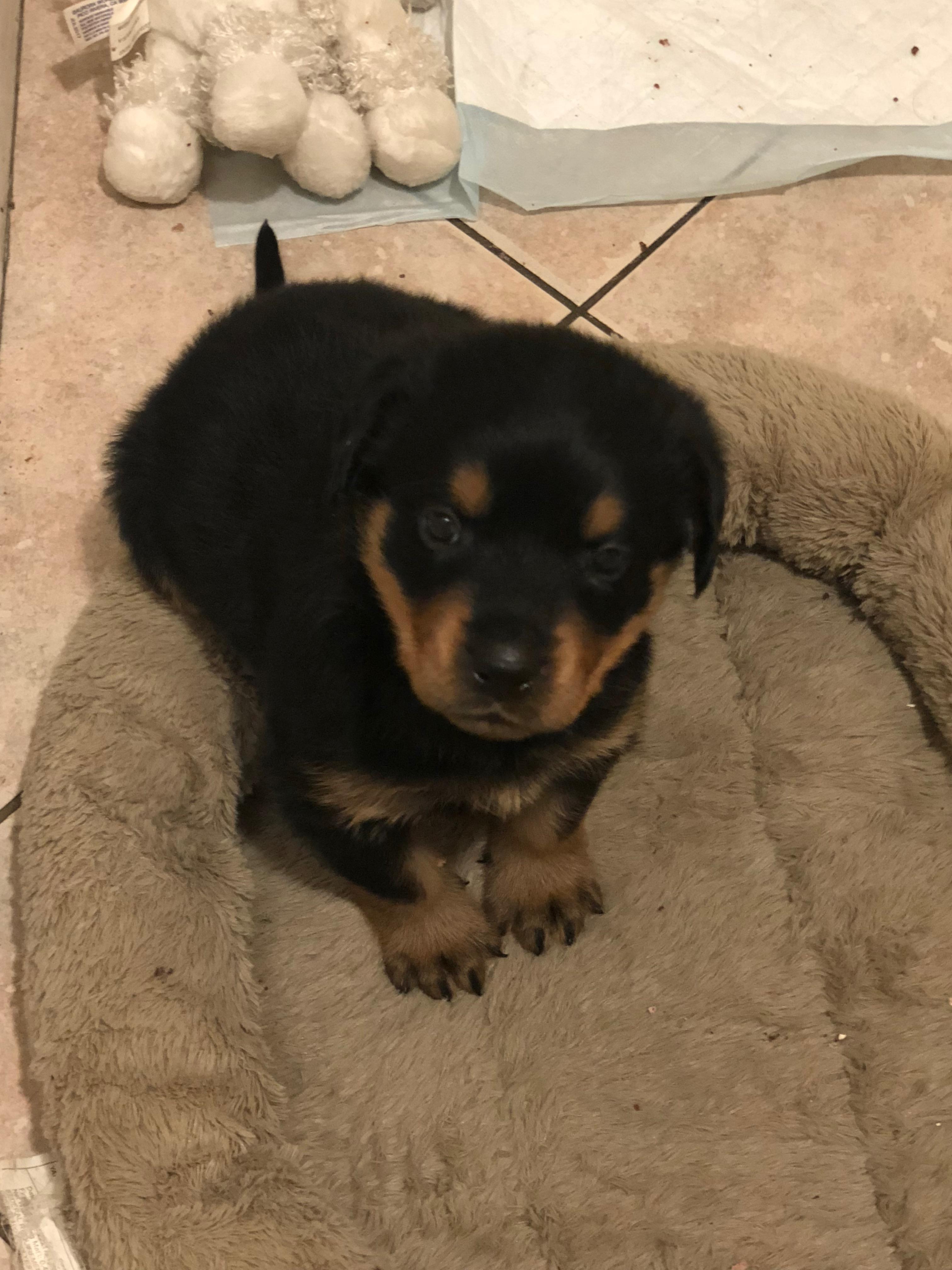 Rottweiler Puppy 5 weeks old