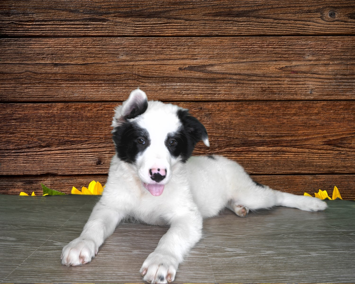 Border Collie/ Australian Shepherd