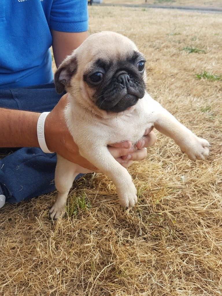 Male & Female Pug Puppies kennel club registered !!