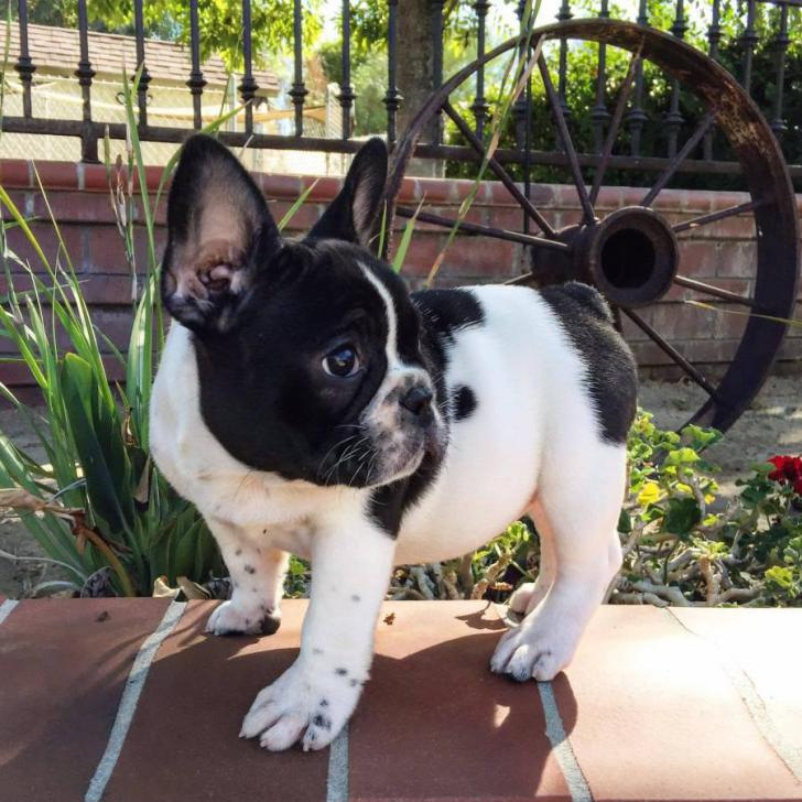 Pennysaver Purebred Akc Registered French Bulldog Puppies For Sale