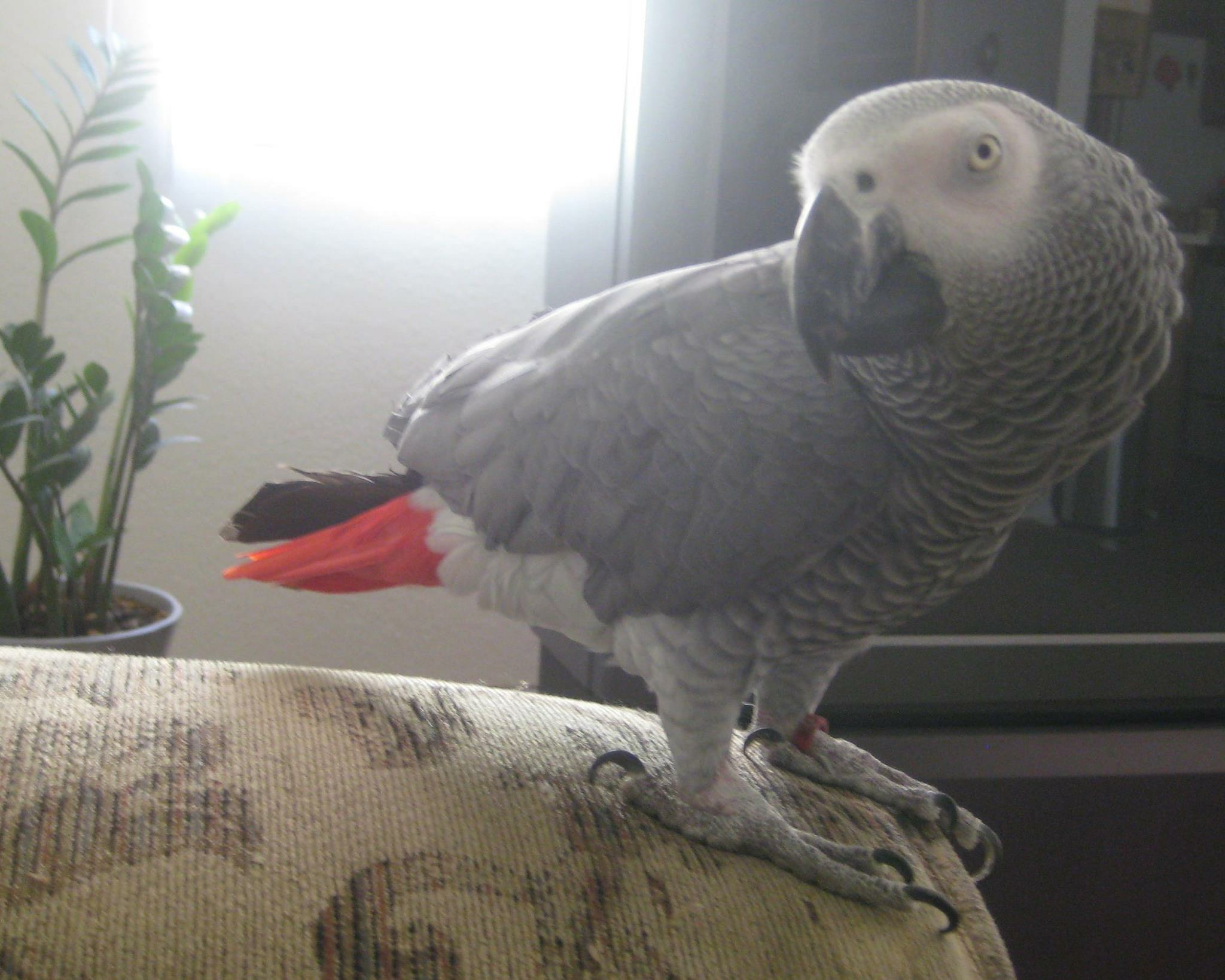 LOST AFRICAN GREY TALKING PARROT IN NORTHRIDGE CA