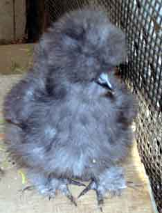 Bearded Bantam Silkie Female Chicks – DNA Sexed