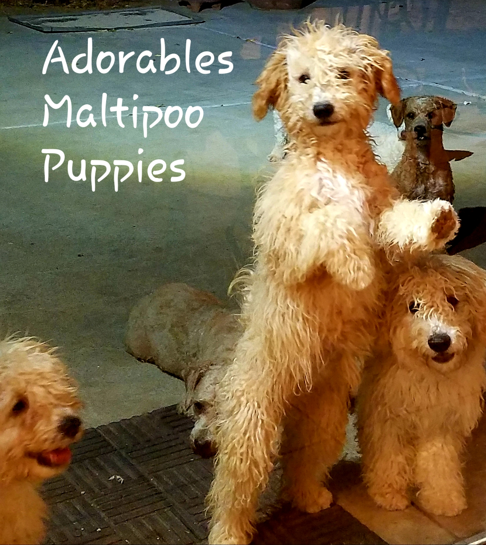 Adorables Maltipoo PUPPIES