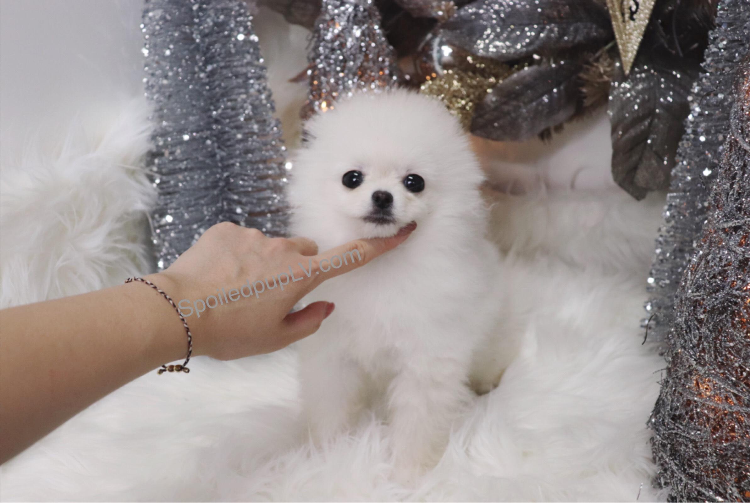 Teacup Pomeranian - Seoul - Male