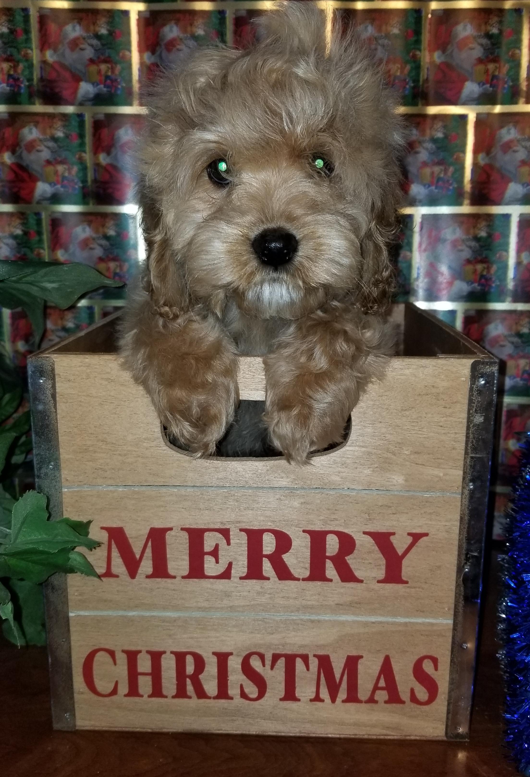 Sweet Family raised Cockapoo Puppies