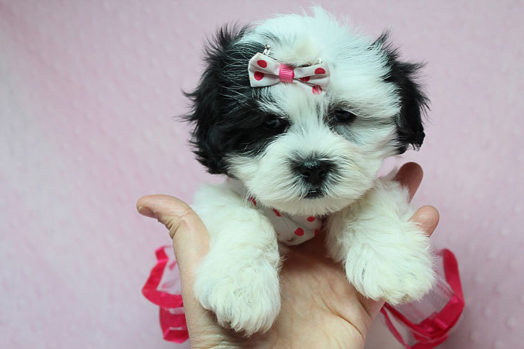 Teacup & Toy Puppies Available Now! Poodle, Maltipoo, Morkie, Malshi and more