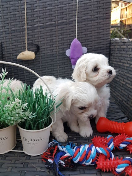 Maltese Puppies (856) 500-3160
