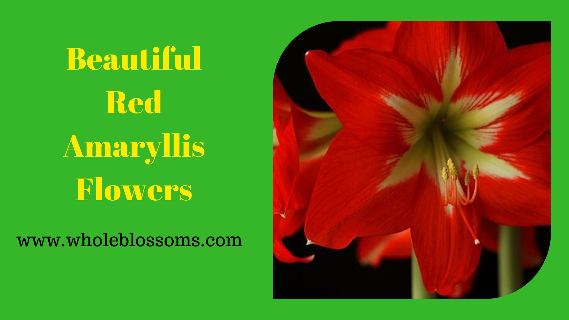 Select and Buy Amaryllis Flowers for Festive Decorations