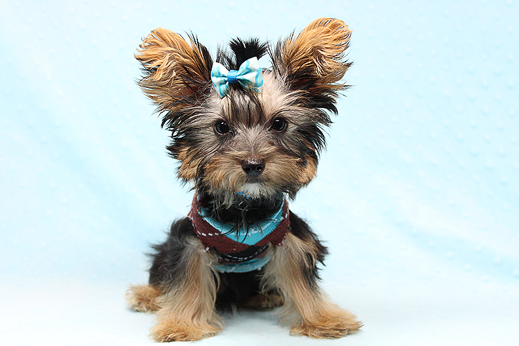 Adorable Teacup Yorkie Puppy In Los Angeles