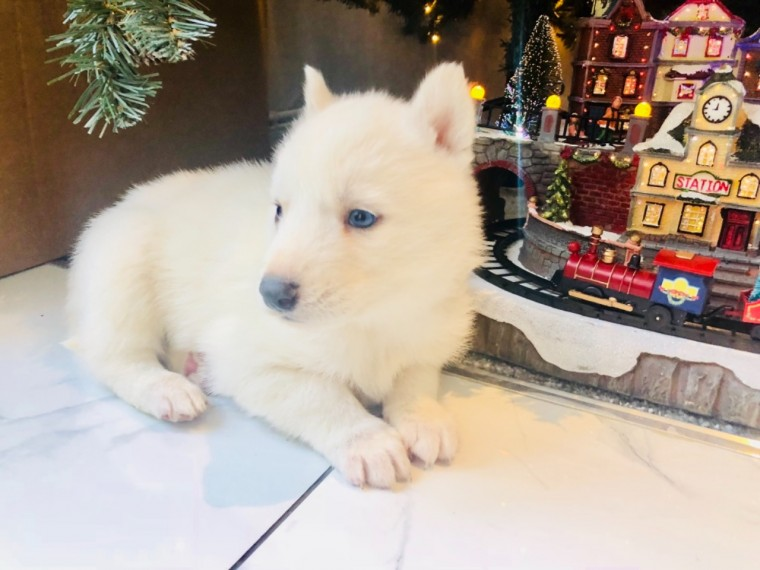 pure White Husky Pups ready for adoption