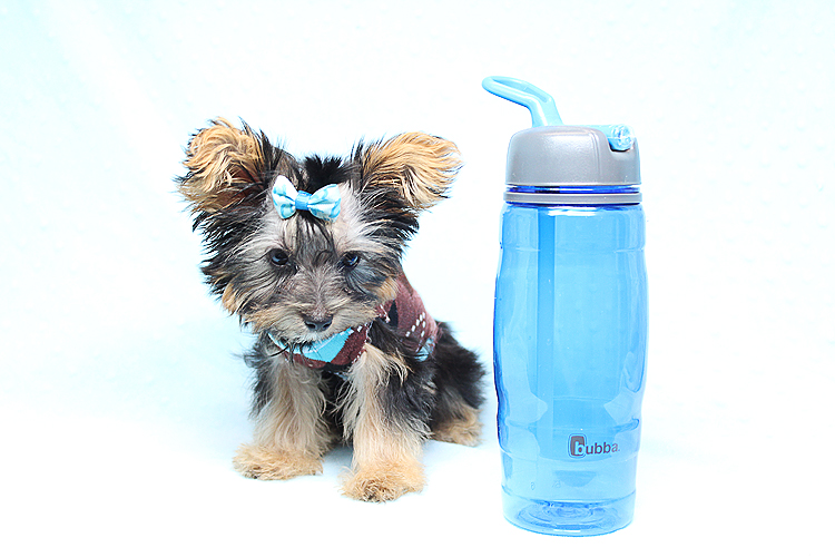 Tiny Teacup Yorkie is Available Now in LA