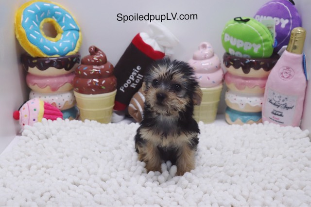 Yorkshire Terrier - Basil - Male