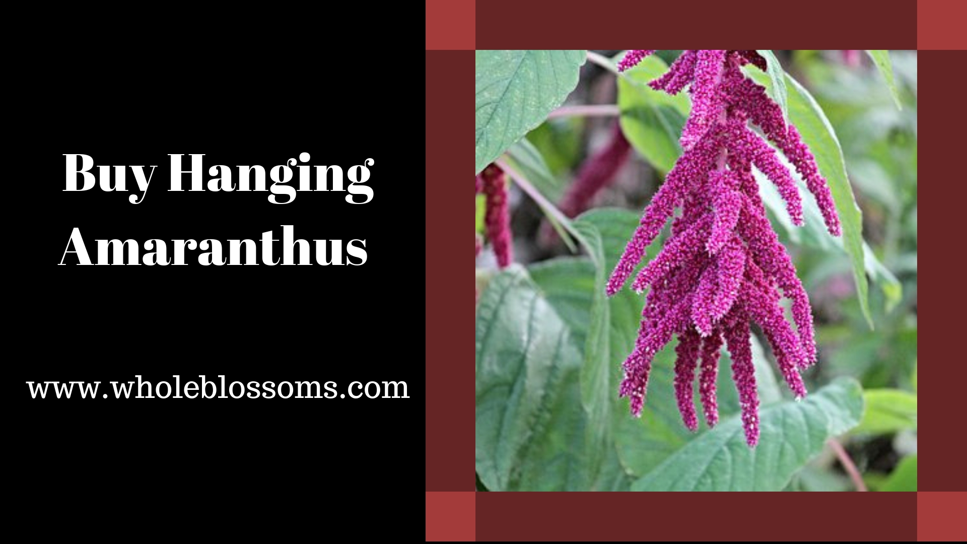 Buy Amaranth Flower for Making Beautiful Floral Arrangements