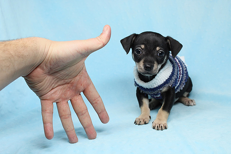 PennySaver   Teacup Chihuahua Puppies Available Now! in Los Angeles