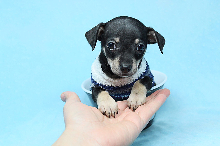 PennySaver | Teacup Chihuahua Puppies Available Now! in Los Angeles