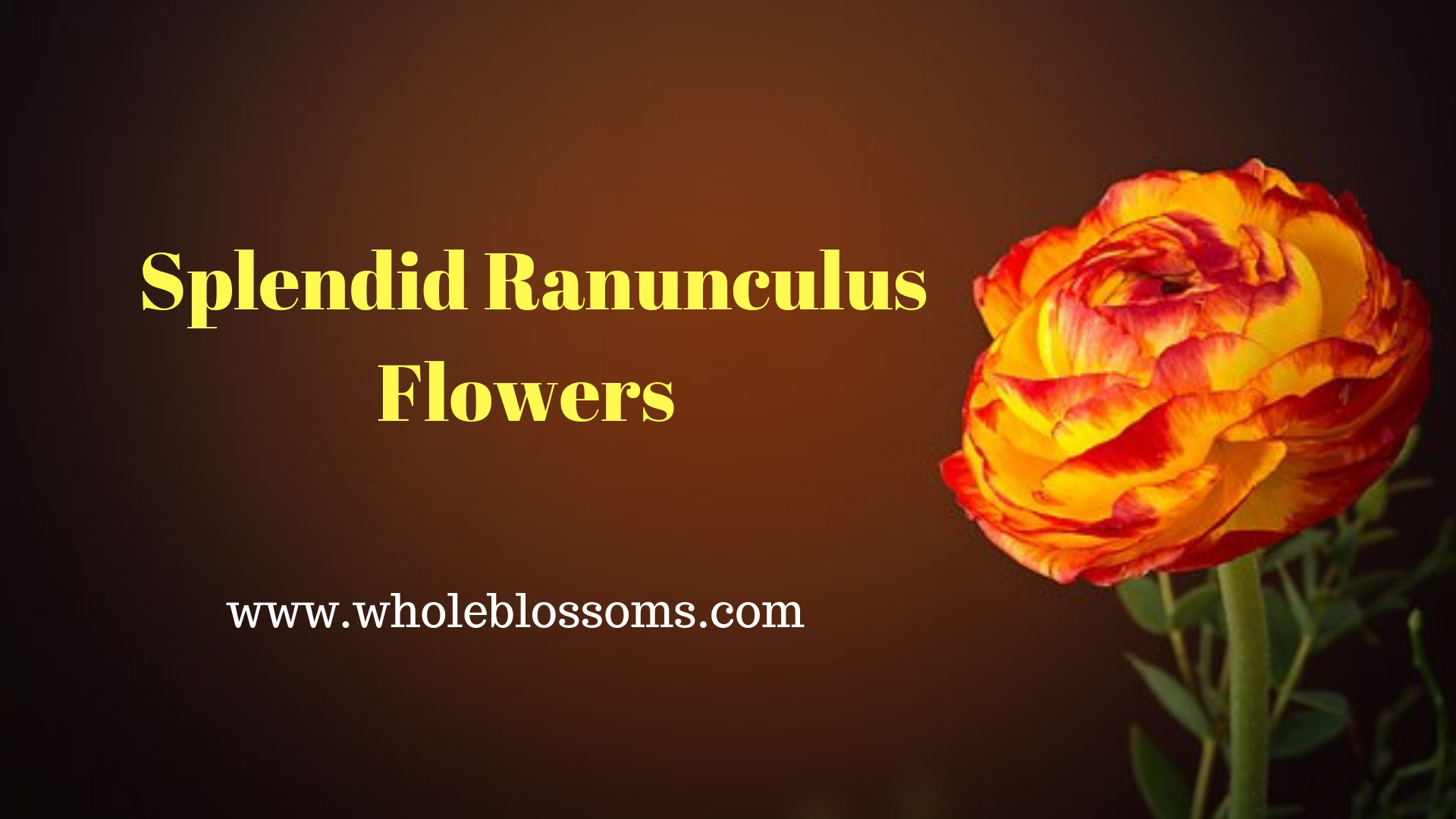 Purchase Classic & Wonderful Color Varieties of Ranunculus