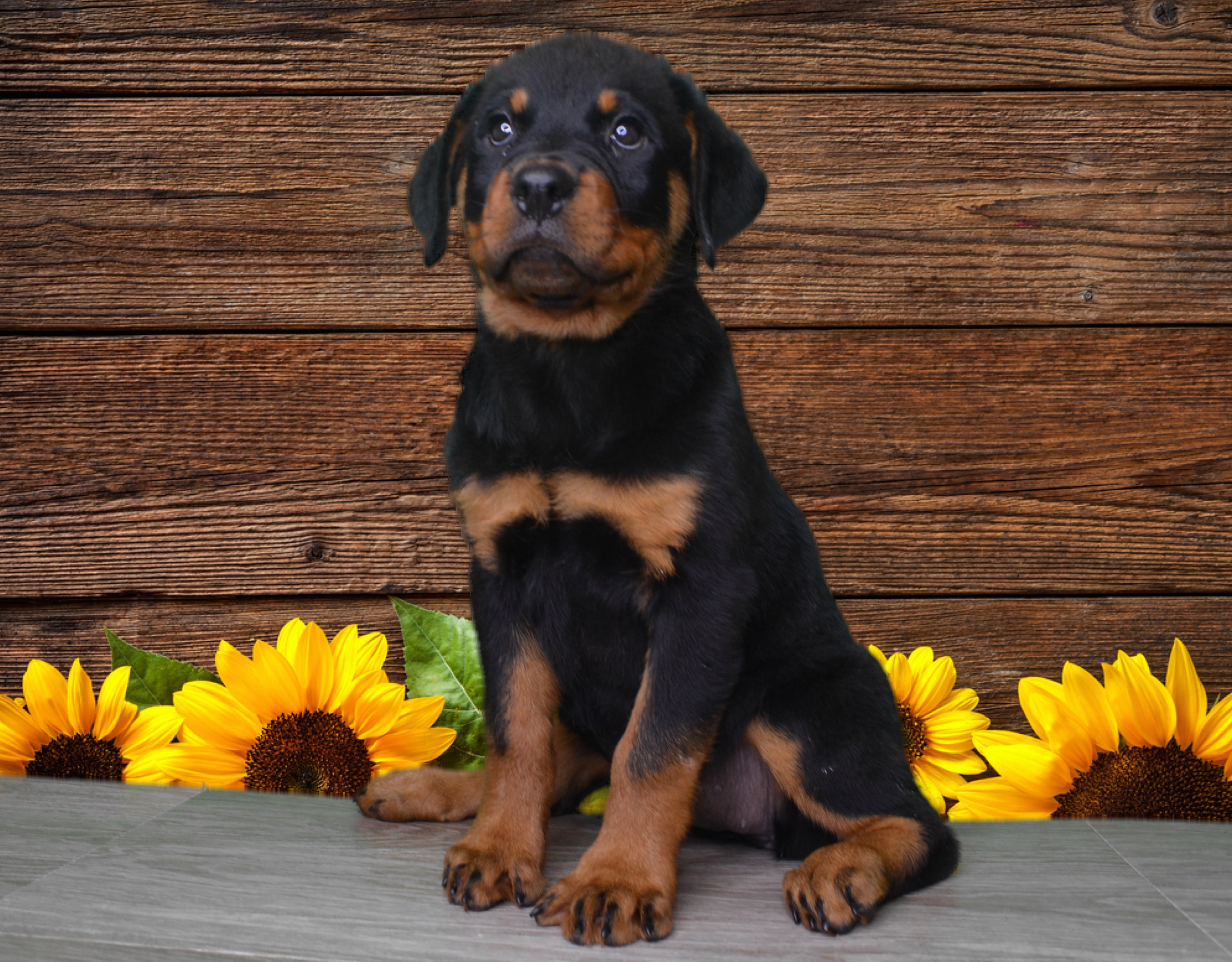 Micro-chipped and Registered Rottweiler (female)