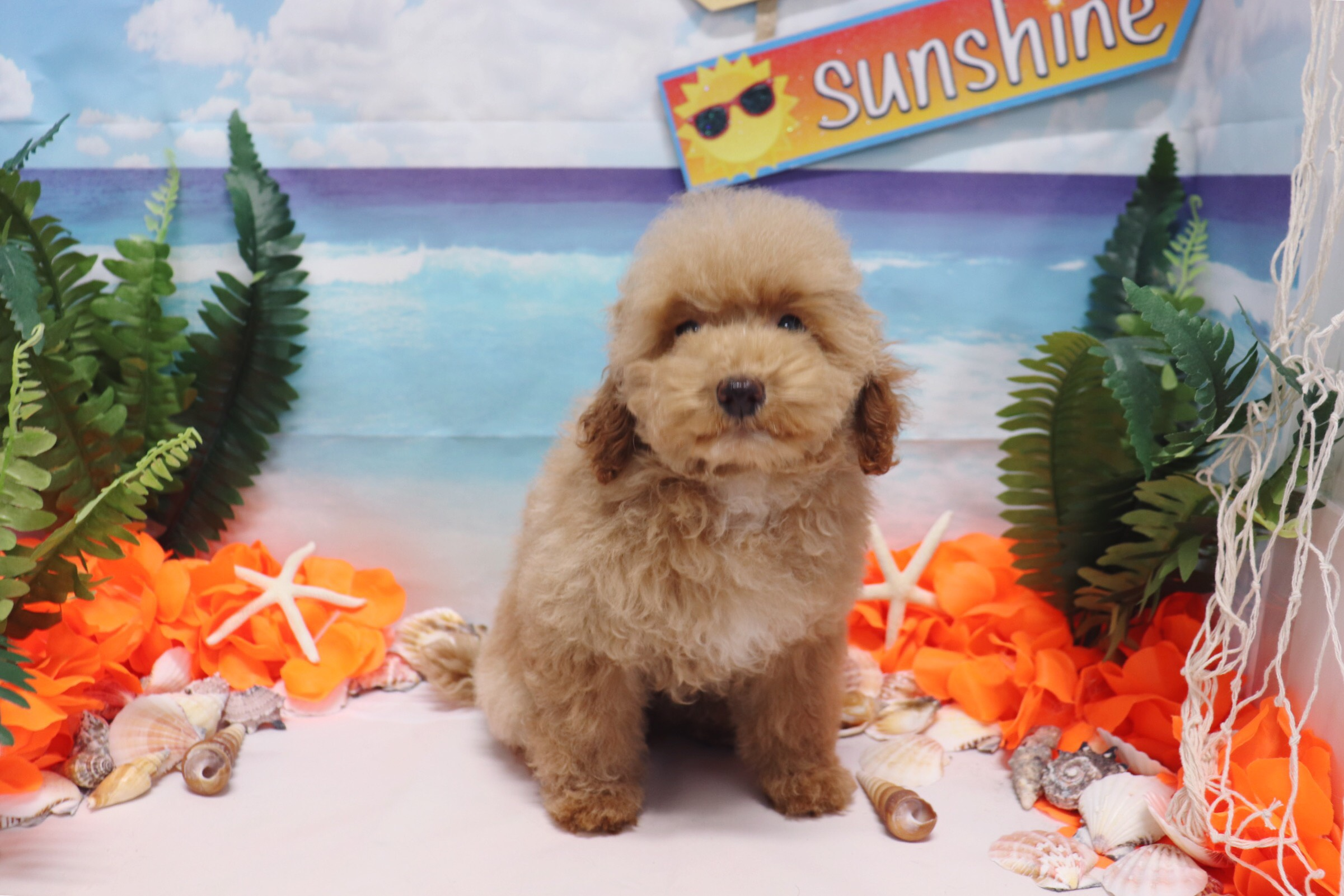 Toy Poodle - Rosie - Female