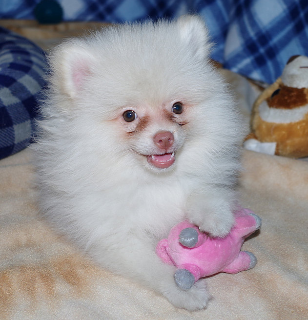 PURE BRED POMERANIAN PUPPIES