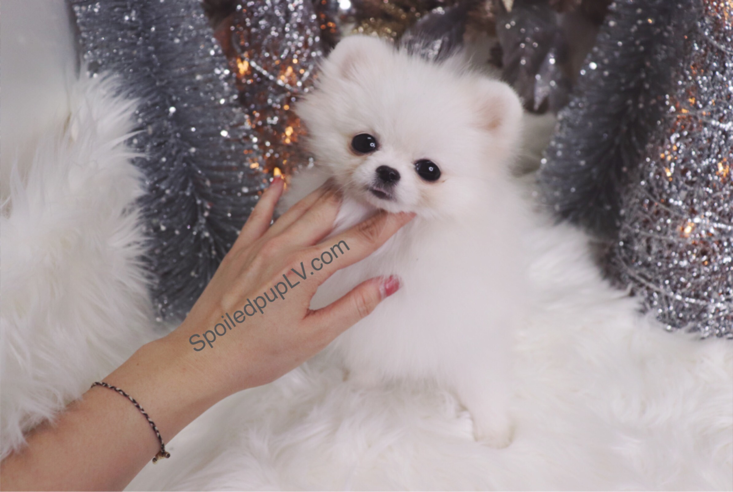 Teacup Pomeranian - Kiki - Female