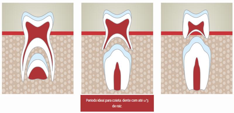 Período ideal para coleta do dente de leite um terço de raiz