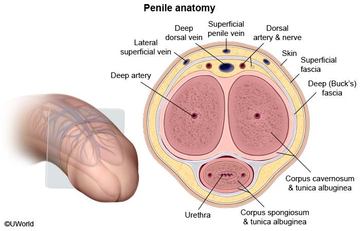 Tunica penis